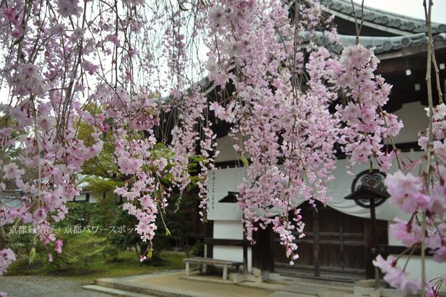 養源院の枝垂桜