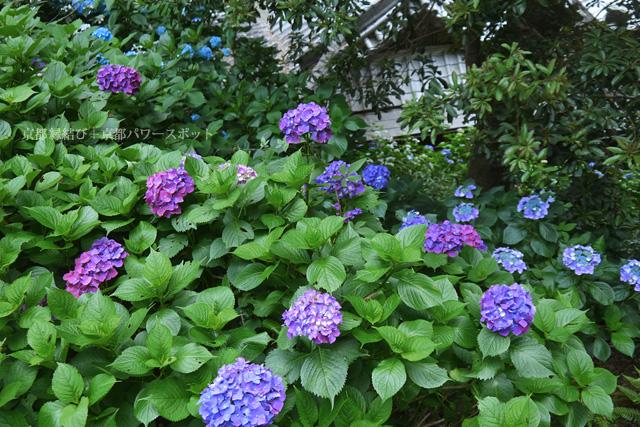 楊谷寺 紫陽花