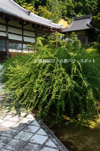 福知山 養泉寺の萩