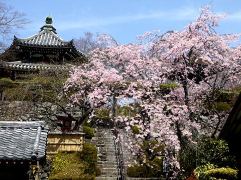 善峯寺の枝垂桜