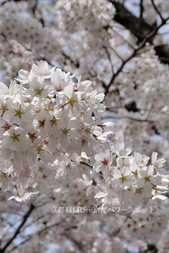 善願寺の桜