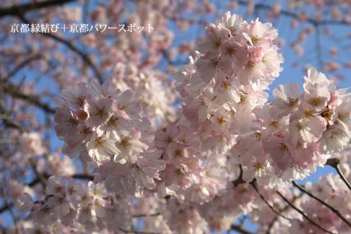 瑞光寺の枝垂桜